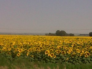 Sunflowers in the Karoo