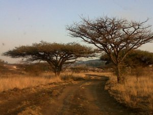 Wonderful African Thorn trees.