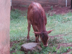 Calf at our home
