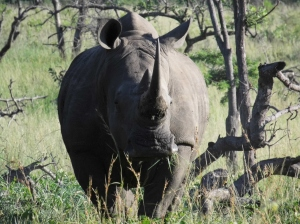 White Rhino at Hluhluwe-Mfolozi