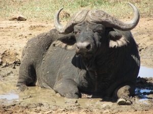 Buffalo at Hluhluwe Mfolozi