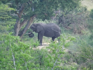 Elephant at Hluhluwe Mfolozi