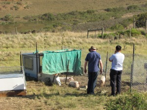 Dave and Salvador look at the pigs
