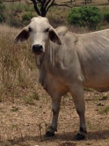 Local Cow